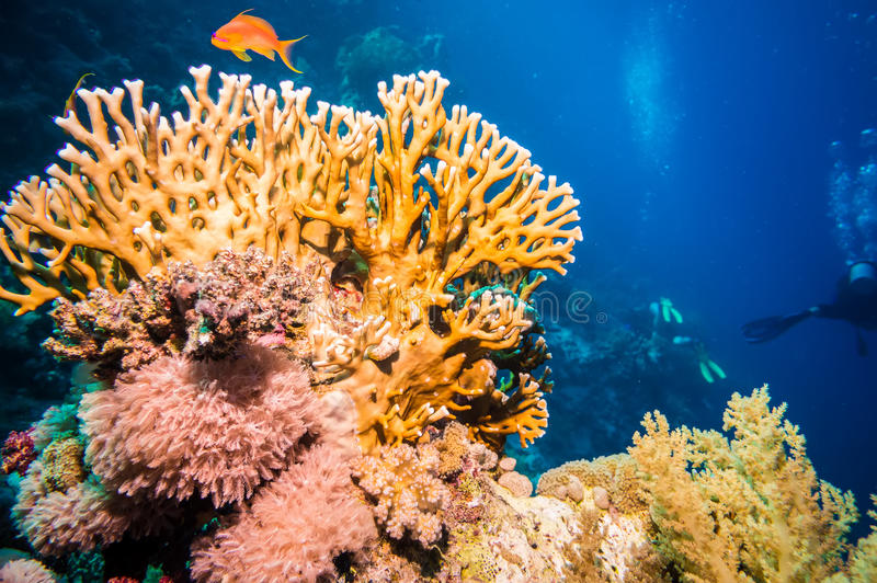 Tropical Anthias fish with net fire corals stock image