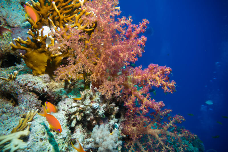 Tropical Anthias fish with net fire corals royalty free stock photography