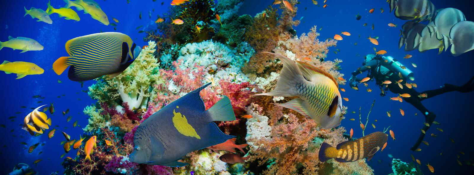 Tropical Anthias fish with net fire corals royalty free stock images