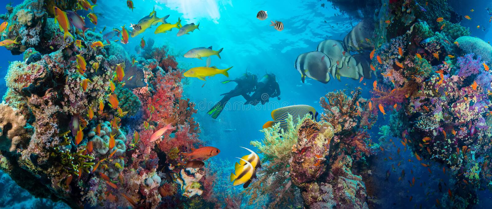 Tropical Anthias fish with net fire corals. On Red Sea reef underwater royalty free stock photo