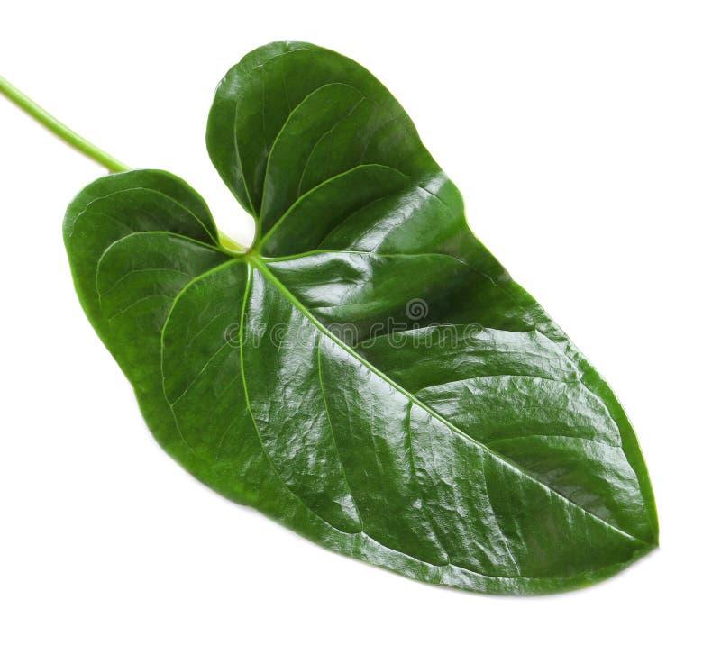 Tropical Anthurium leaf stock image