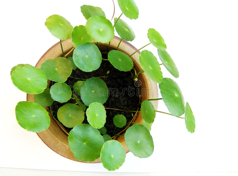 Tropical aquatic plant in pot. A specimen of a tropical aquatic plant in a simple terracotta pot. Plant has small round leaves that look like miniature water royalty free stock image