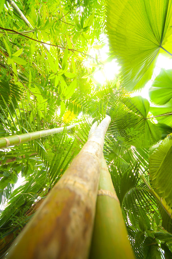 Download Tropical bamboo forest stock image. Image of foliage - 33148287