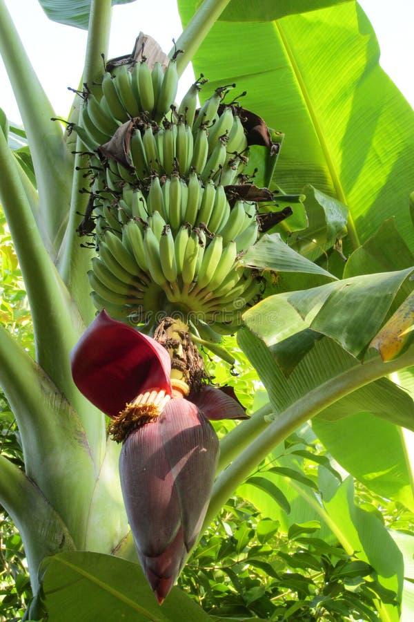 Tropical banana flower and green bananas stock images