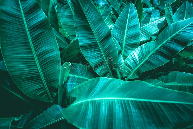 Tropical banana leaf texture in garden stock photography