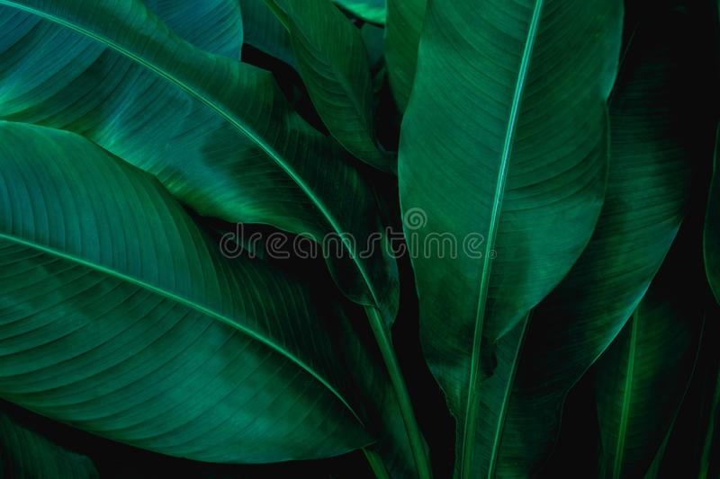 Abstract green leaf, large palm foliage nature dark green background stock photo