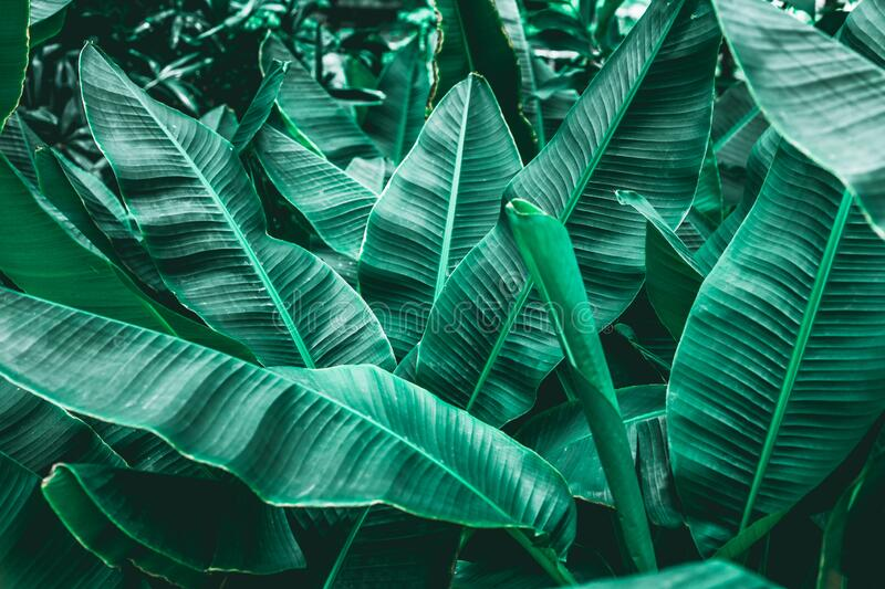 Closeup green banana leaf texture in garden royalty free stock photography