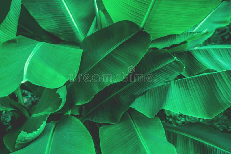 Tropical banana leaf texture in garden, abstract green leaf stock image