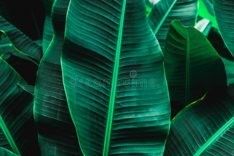 Tropical banana leaf texture in garden stock image