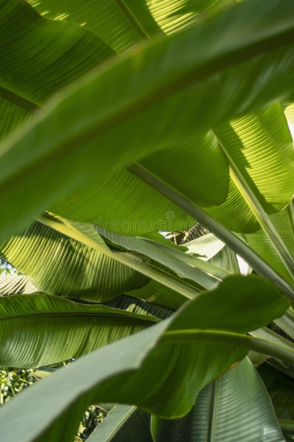Texture of tropical banana leaf, large palm foliage. stock photo