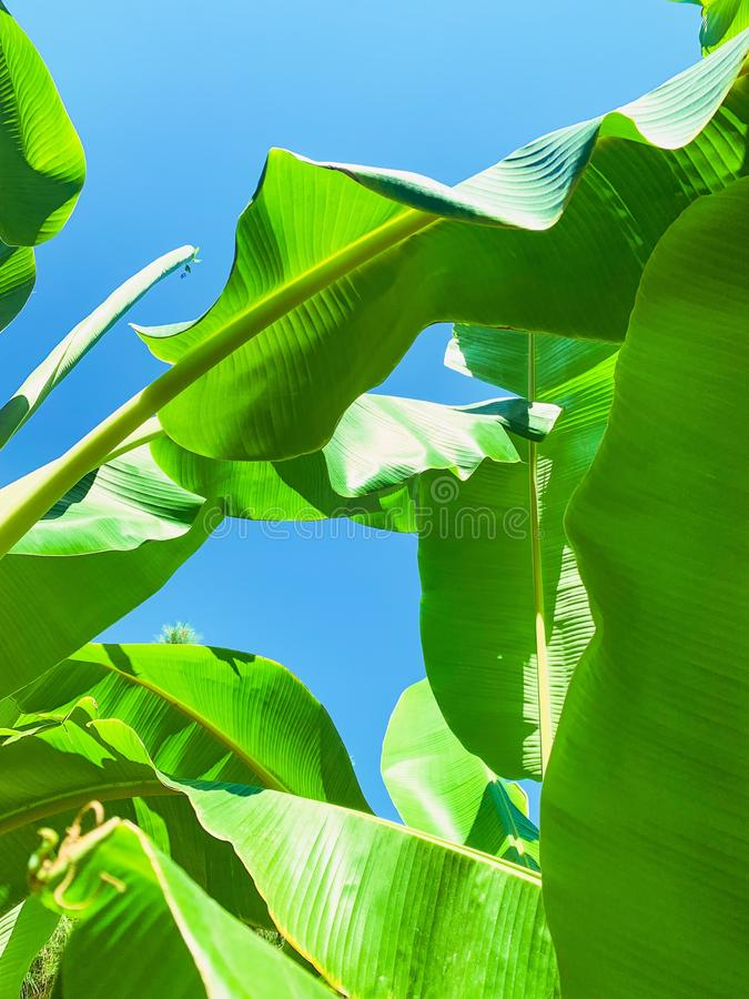 Tropical banana leaf texture, large palm foliage nature green background stock photos