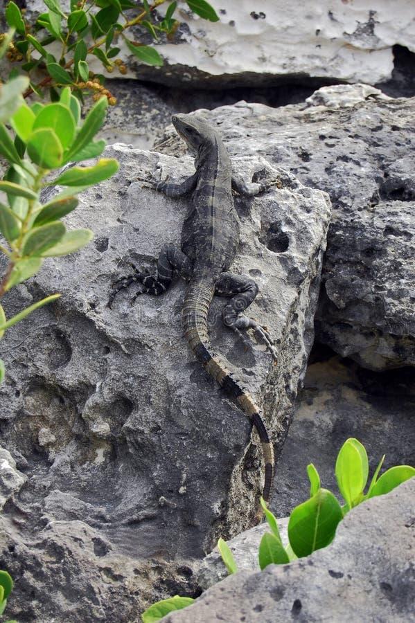 Download Tropical Beach Lizard stock image. Image of reptile, closeup - 17719111