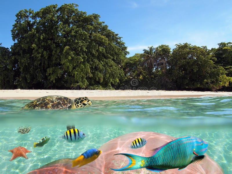 Tropical beach with underwater view and a turtle. Over and underwater split view of a tropical beach with beautiful vegetation and a turtle on the water surface stock image
