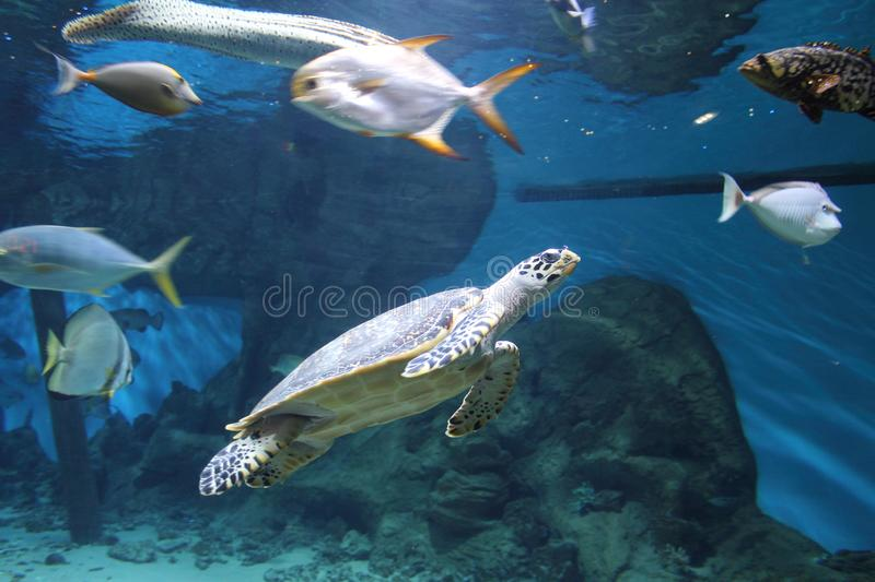 Tropical big fish and turtle in a big aquarium. For public view in the blue water stock photos