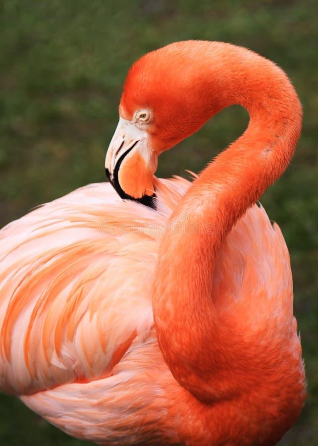 Tropical bird flamingo royalty free stock photo