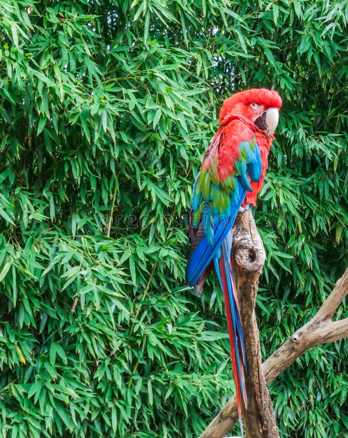 Tropical bird pet portrait of a red and green macaw parrot also know as the green winged parrot stock photos