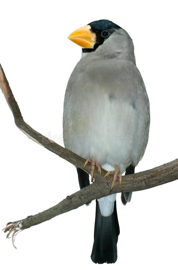 Download Tropical bird on a twig stock image. Image of bill, gray - 25287995
