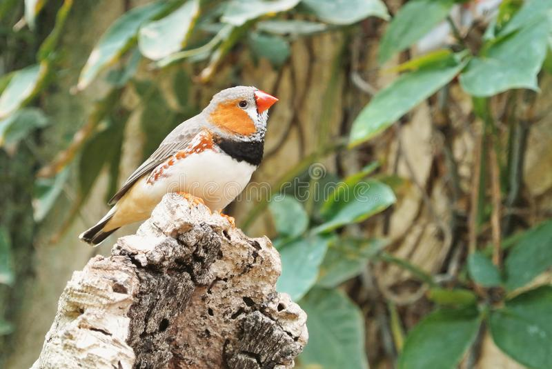 Tropical bird Zebra finch Taeniopygia guttata with red beak si. Tting on a stone with green leaves at the background, Butterfly Park of Benalmadena, Malaga stock image