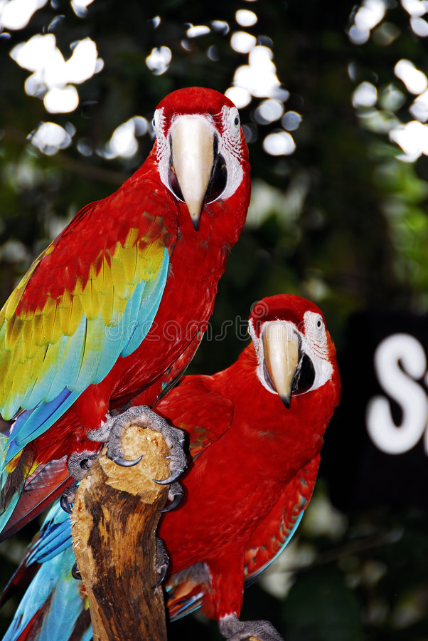 Tropical birds. A view of two lovely and colorful tropical birds in the forest