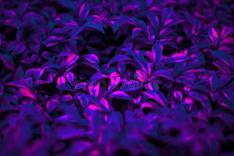 Tropical black light glowing blurry leaves. Tropical blurry leaf forest glow in the black light background. High contrast stock images