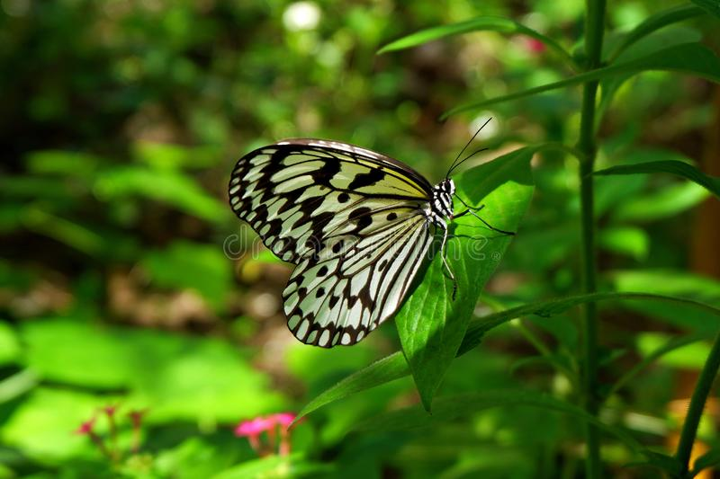 Tropical Black and White Butterfly Perching on Green Leaves stock photography
