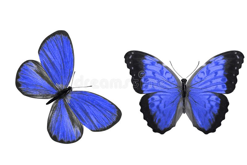 Tropical blue butterfly. isolated on white background. Blue butterflies isolated on white background. tropical insects vector illustration