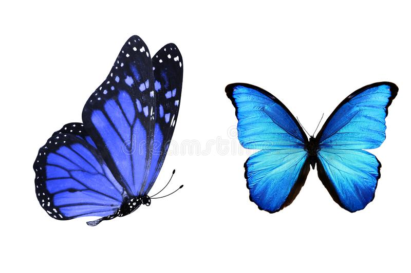 Tropical blue butterfly. isolated on white background. Blue butterflies isolated on white background. tropical insects. template for the designer vector illustration