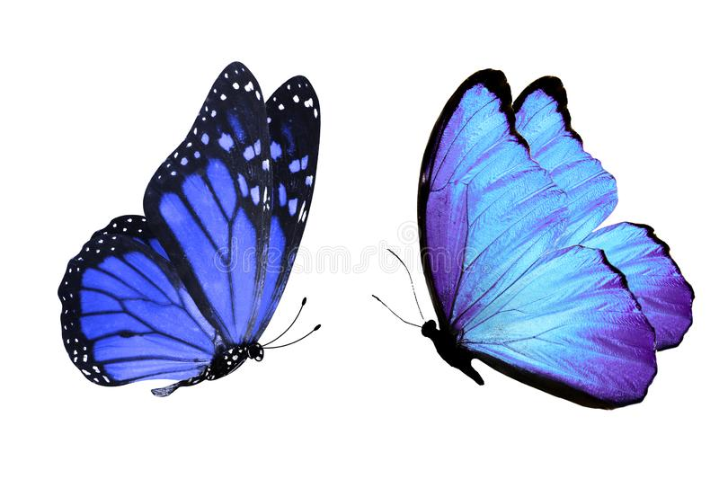 Tropical blue butterfly. isolated on white background. Blue butterflies isolated on white background. tropical insects. template for the designer royalty free illustration
