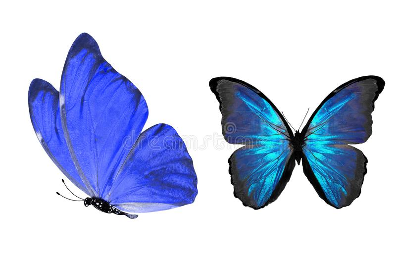 Tropical blue butterfly. isolated on white background. Blue butterflies isolated on white background. tropical insects. template for the designer stock illustration