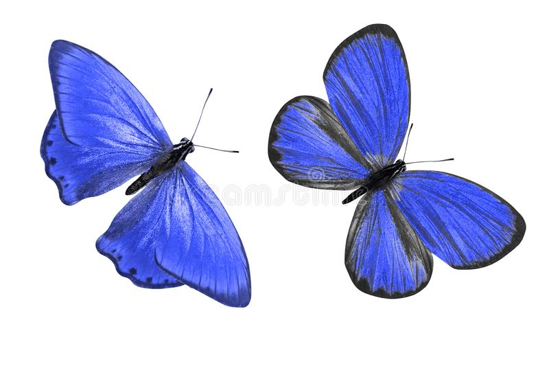 Tropical blue butterfly. isolated on white background. Two blue butterflies. on a white background stock illustration