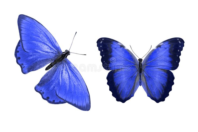 Tropical blue butterfly. isolated on white background. Two blue butterflies. on a white background royalty free illustration