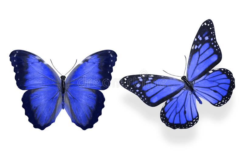 Tropical blue butterfly. isolated on white background. Two blue butterflies isolated on white background. tropical insects. template for the designer vector illustration