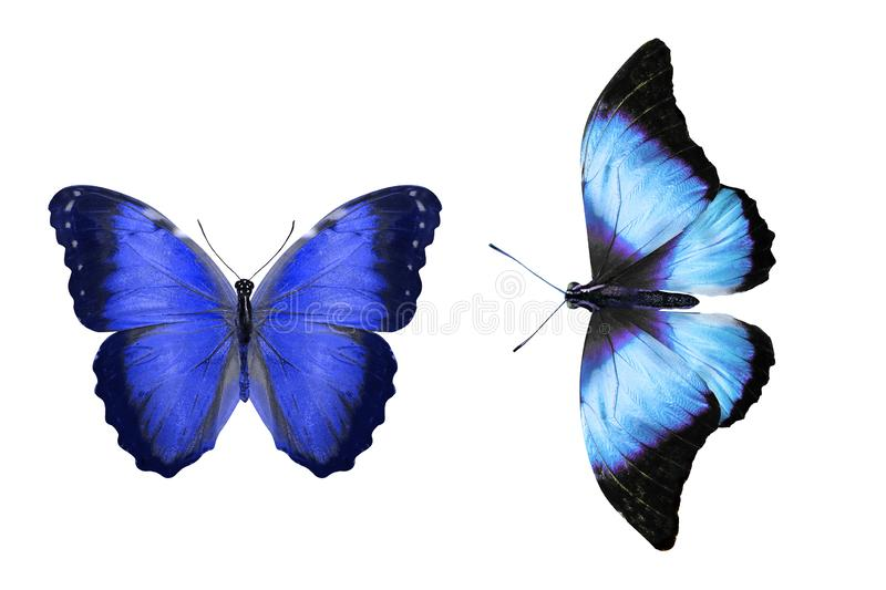 Tropical blue butterfly. isolated on white background. Two blue butterflies isolated on white background. tropical insects. template for the designer royalty free illustration