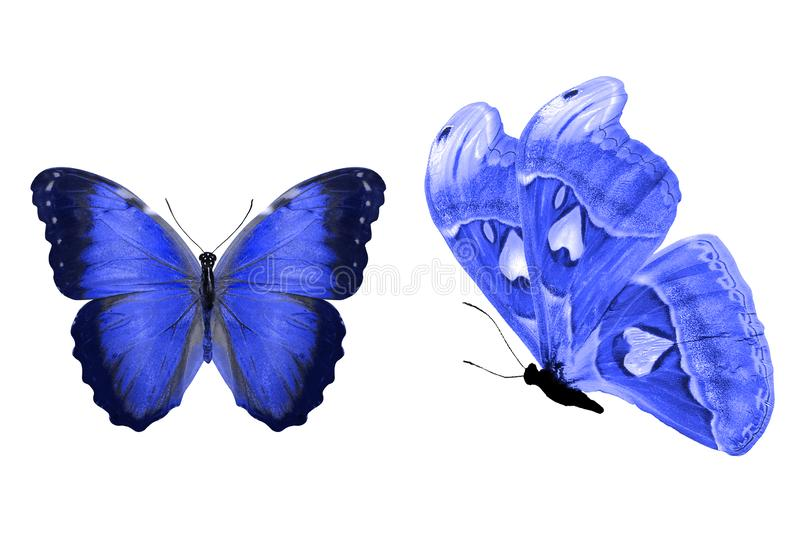 Tropical blue butterfly. isolated on white background. Two blue butterflies isolated on white background. tropical insects. template for the designer stock illustration