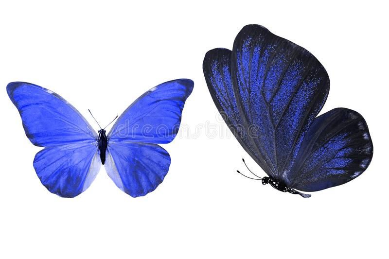 Tropical blue butterfly. isolated on white background. Two blue morpho butterflies. isolated on white background vector illustration