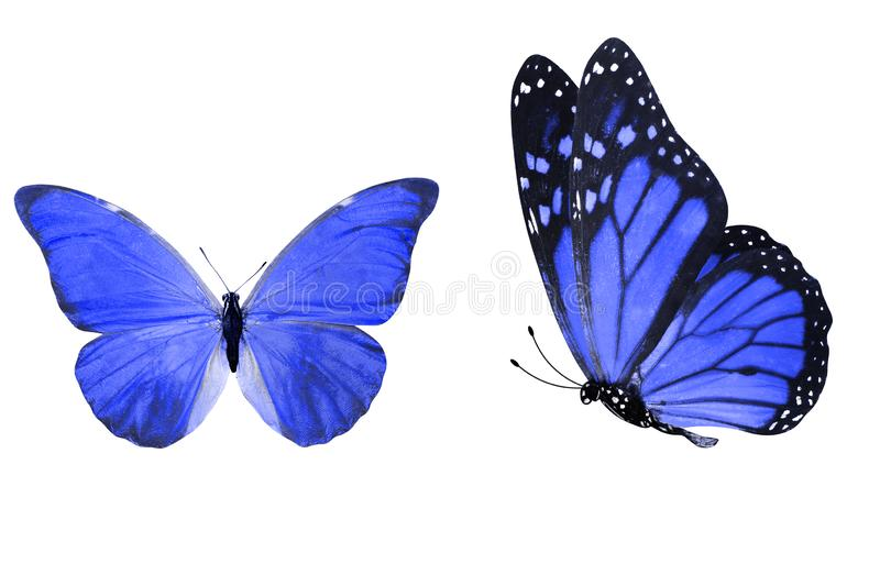Tropical blue butterfly. isolated on white background. Two blue morpho butterflies. isolated on white background stock illustration