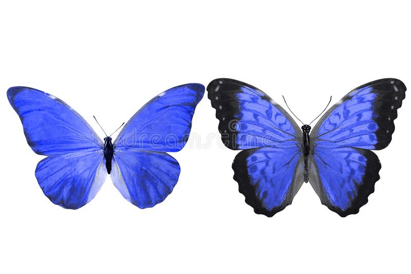 Tropical blue butterfly. isolated on white background. Two blue morpho butterflies. isolated on white background royalty free illustration