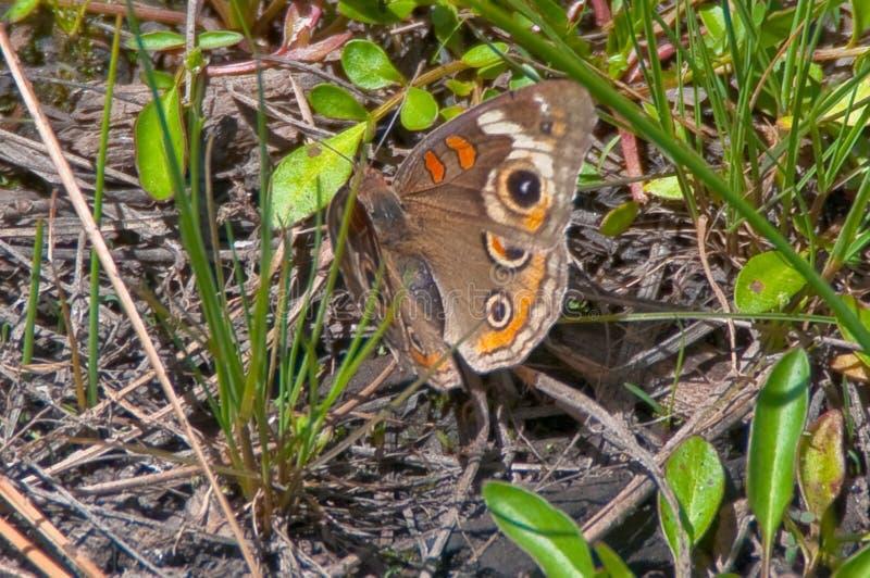 Tropical Buckeye Butterfly stock image