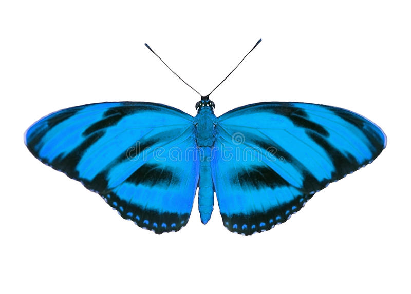 Tropical butterfly. Blue butterfly isolated on white background stock image