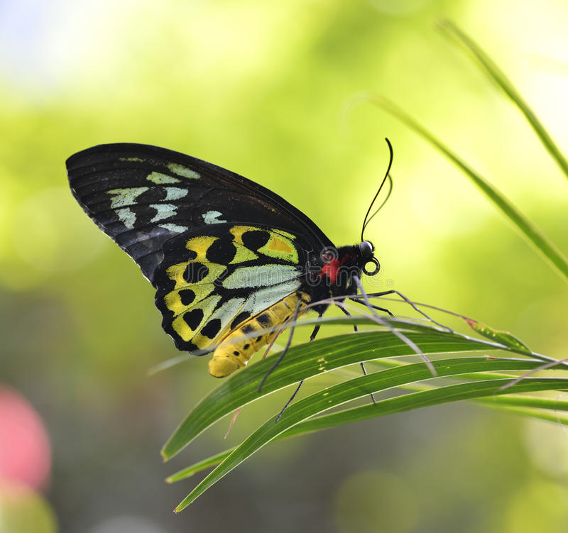 Free Tropical Butterfly Royalty Free Stock Image - 30219026