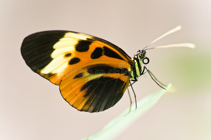 Tropical Butterfly. Heliconius Numata Aurora lives in South America royalty free stock photos