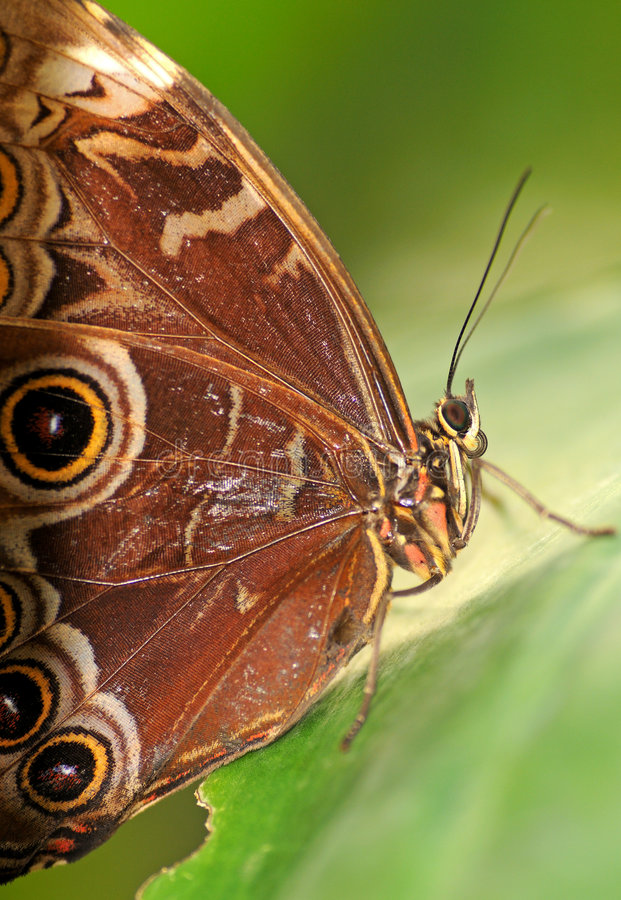 Free Tropical Butterfly Royalty Free Stock Photos - 7453178