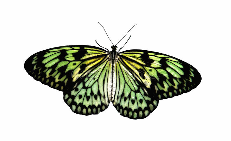 Tropical Butterfly Aurora stock image