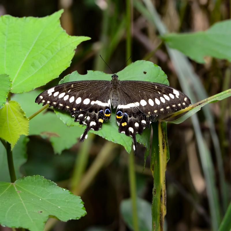 Tropical butterfly, black butterfly with white, yellow and blue dots, swallowtail butterfly on leaf, Mountain Rainforest of Uganda royalty free stock photos