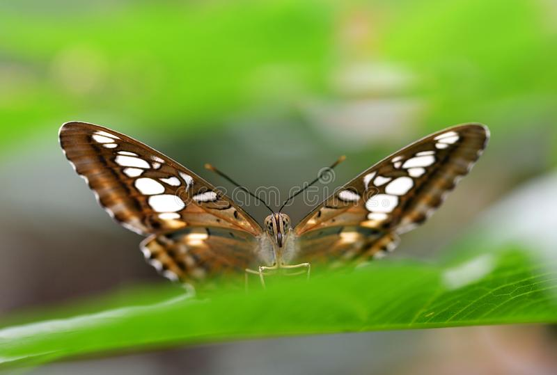 Tropical butterfly Brown clipper Parthenos sylvia sitting on green leaf. royalty free stock image