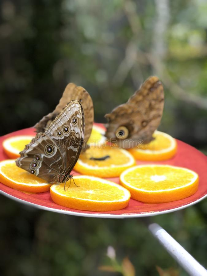 Tropical  butterfly eating royalty free stock photo