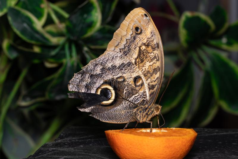 Tropical butterfly eating perched on orange slice.  royalty free stock photography