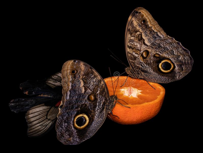 Tropical butterfly eating perched on orange slice.  stock photos