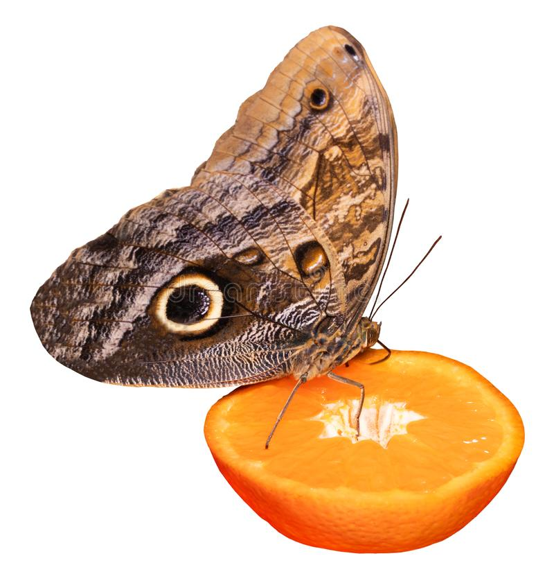 Tropical butterfly eating perched on orange slice isolated on white.  royalty free stock photos