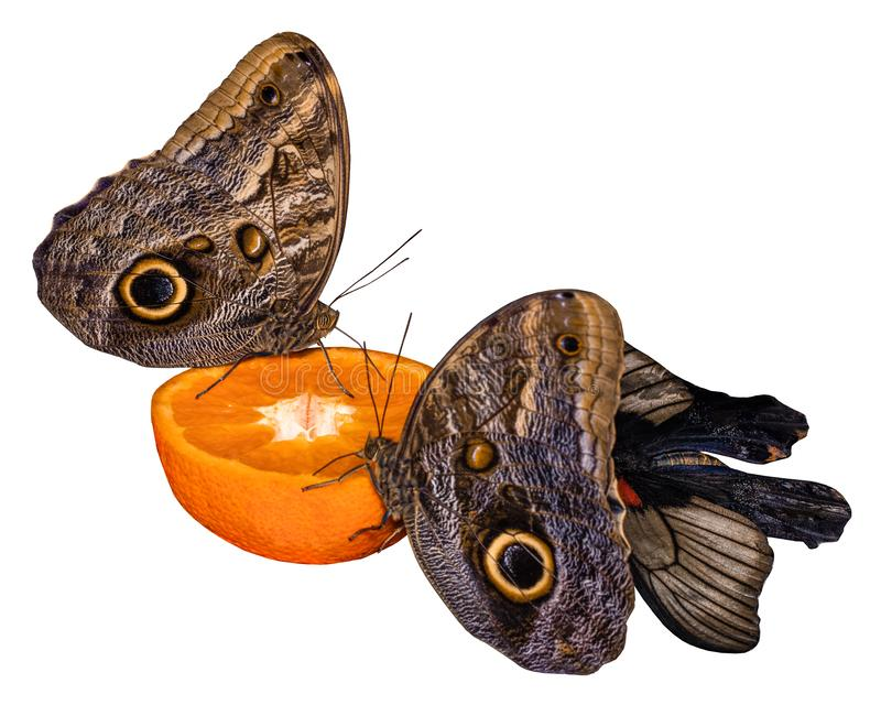 Tropical butterfly eating perched on orange slice isolated on white.  royalty free stock photo